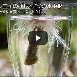 カランコエ動画