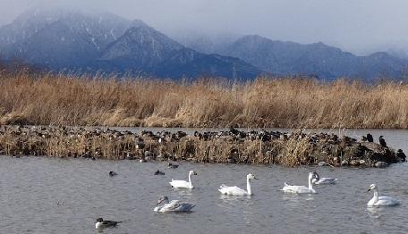 う1-11 遊水池の水鳥たち