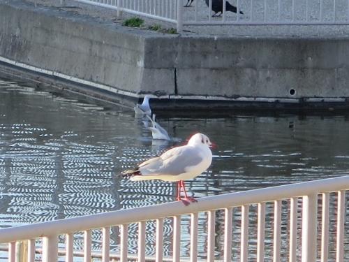 愛知県名古屋市 堀川沿い ユリカモメ