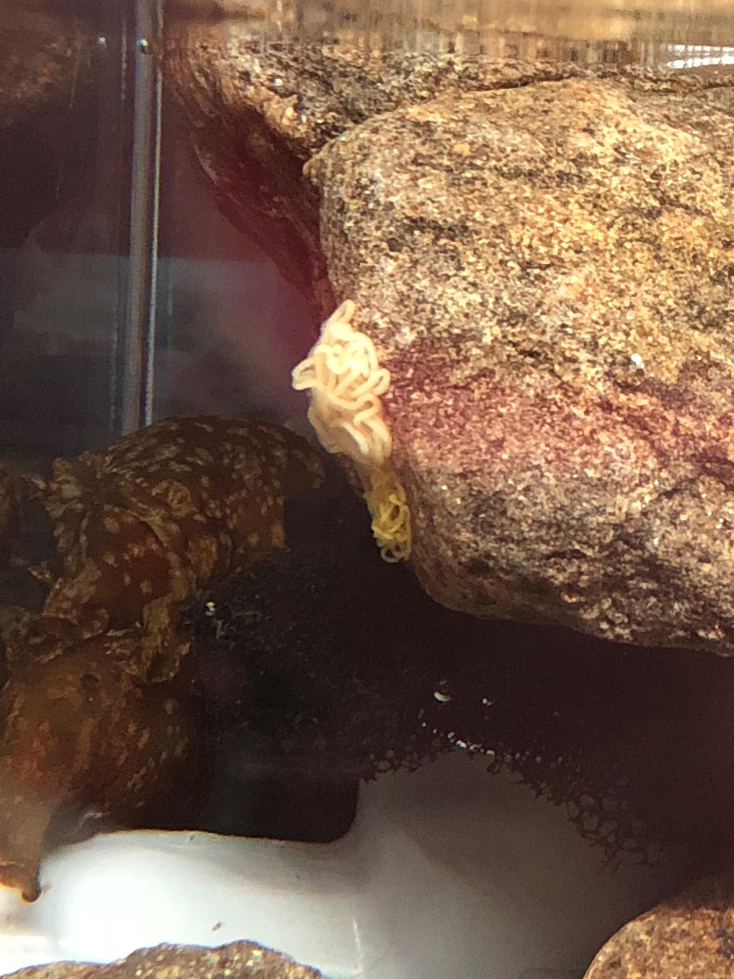 アメフラシ卵