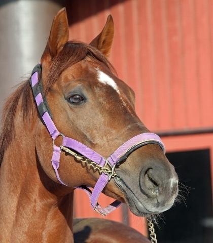 【競馬】コパノリッキー(種付け料80万)、人気殺到で今シーズンの受付すでにストップ済www