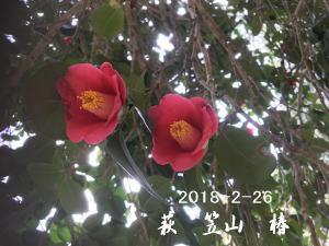 tubaki20180226a.jpg