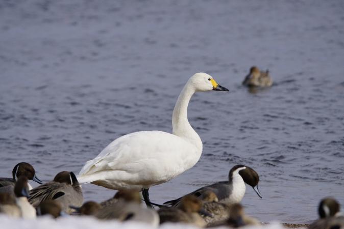 DSC08588白鳥