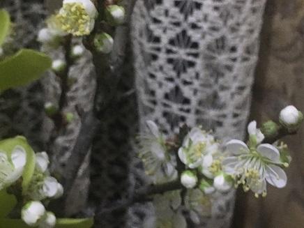 1042018 梅の花S2