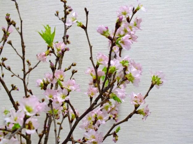 s-啓翁桜2