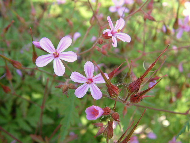 2007_05_23-5-Geranium_robertianum-himehuurou-b[1]