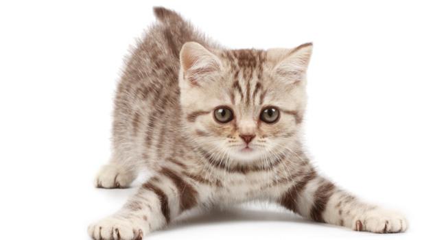 強そうな猫