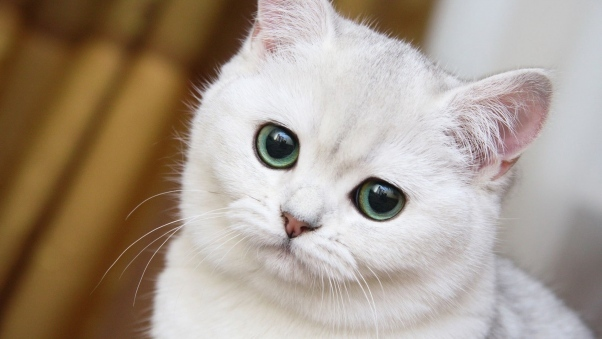 cute_white_cat_muzzle_72133_602x339.jpg
