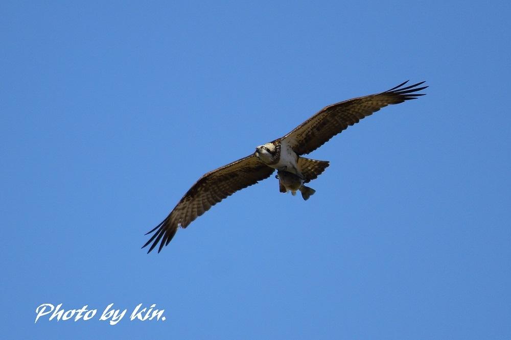 Osprey ♪ ~ミサゴ PART2~