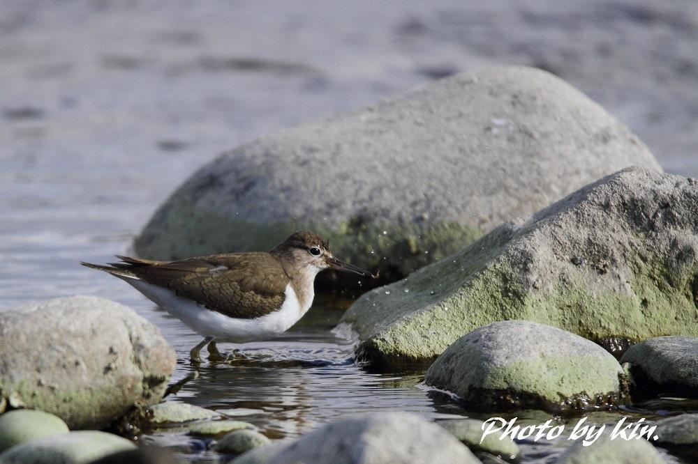 Common sandpiper ♪ ~イソシギ~
