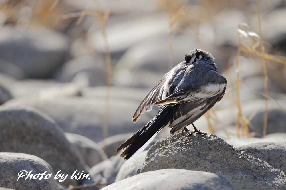 Japanese Pied Wagtail ♪ ~ハクセキレイ PART2~