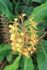 ショウガ科の黄色い花