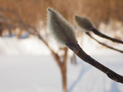 180107 コブシ冬芽2
