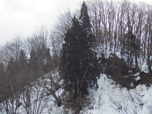 180119 近くの天然杉