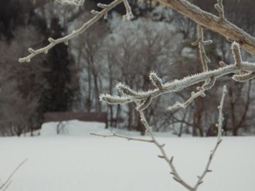 180120 イチョウ冬芽