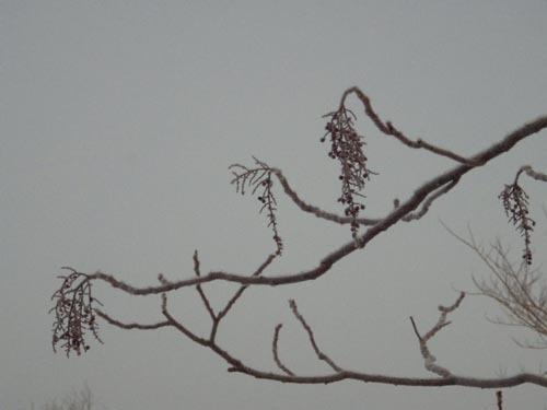 180120 ヌルデ冬芽
