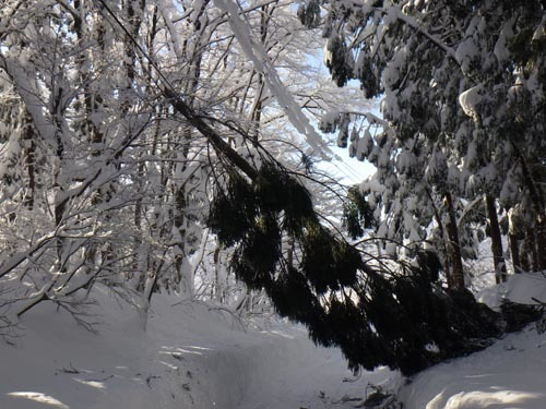 180113 雪折れスギ