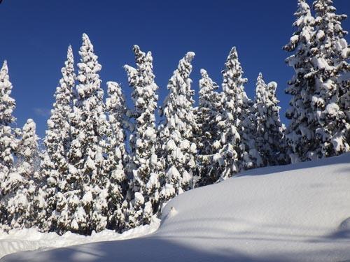 180113 雪帽子スギ