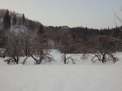 180224 ヤエザクラ雪害2