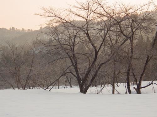 180224 ソメイヨシノ雪害3