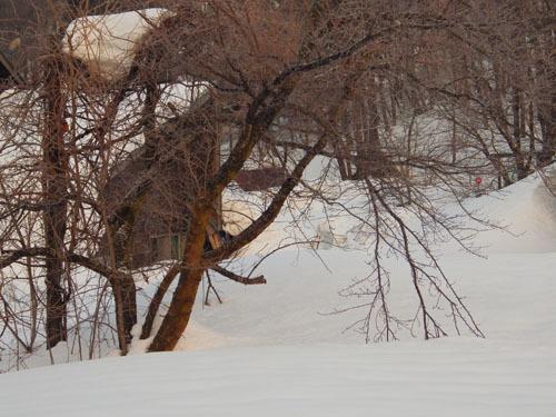 180224 ソメイヨシノ雪害2