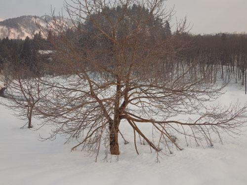 180224 コブシ雪害