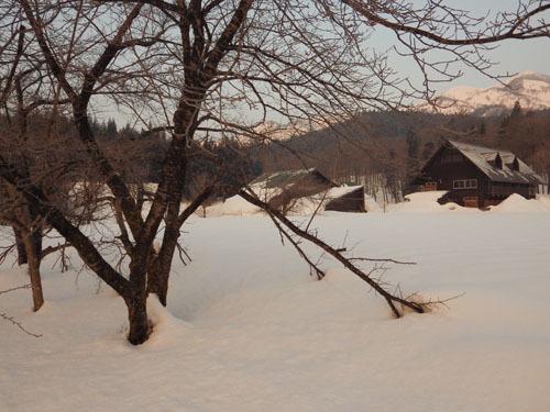 180224 ソメイヨシノ雪害1