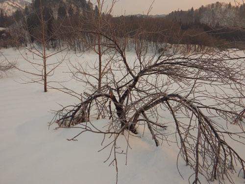 180224 ヤエザクラ雪害1