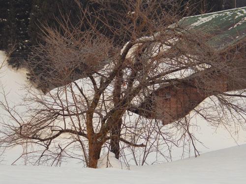 180224 オオシマザクラ雪害
