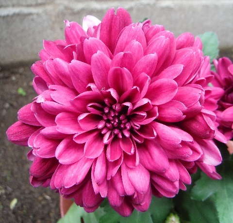 Chrysanthemum1-2018.jpg
