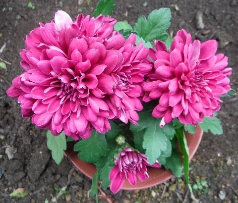 Chrysanthemum2-2018.jpg