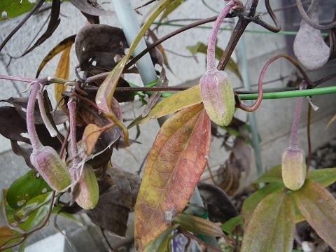 Clematis_urophylla_White_Angel5-2017.jpg