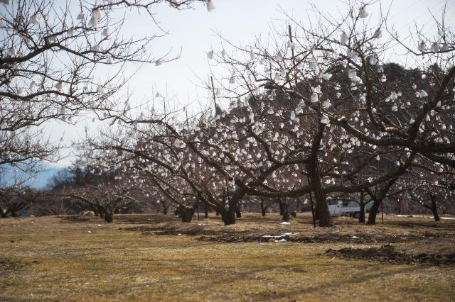 冬に咲く桃畑の花-01