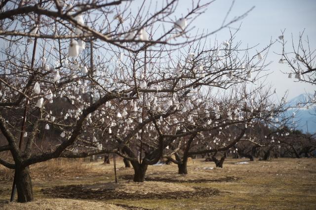 冬に咲く桃畑の花-02
