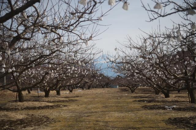 冬に咲く桃畑の花-03