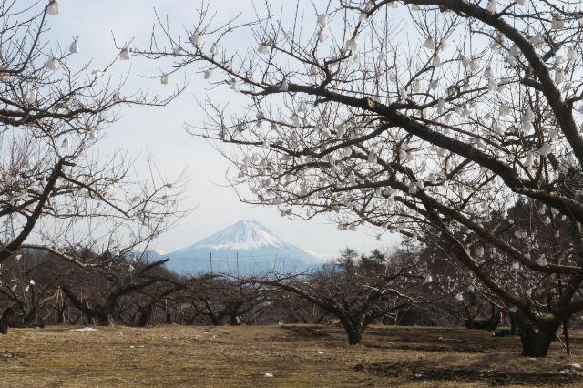 冬に咲く桃畑の花-04