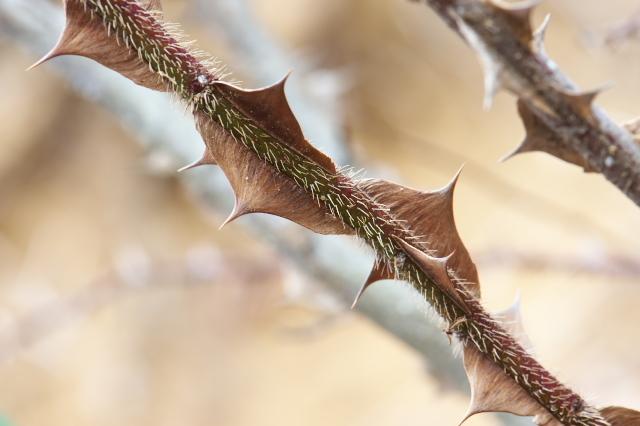 Rosa.sericea Pteracantha のトゲ-02