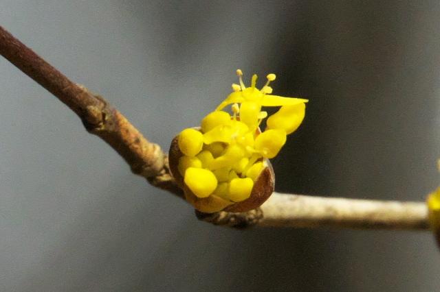 サンシュの黄色の小花-01