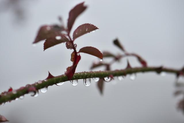バラの枝に付いた滴-06