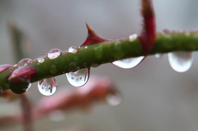 バラの枝に付いた滴-07