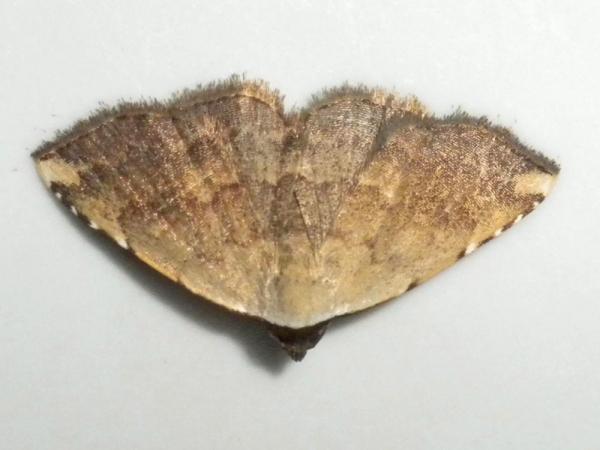 ツマトビコヤガ