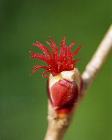 ツノハシバミ雌花序