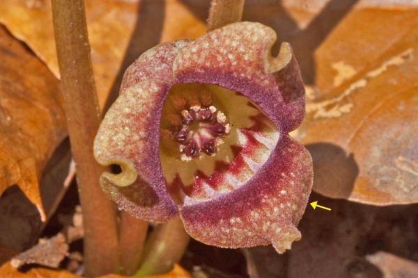 ウスバサイシンの花