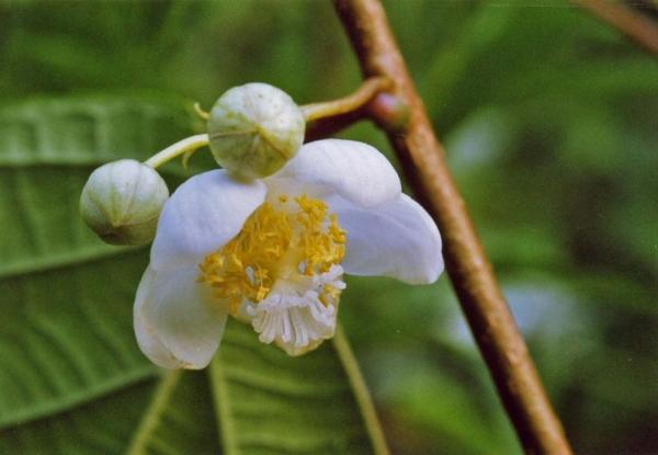 マタタビの両性花