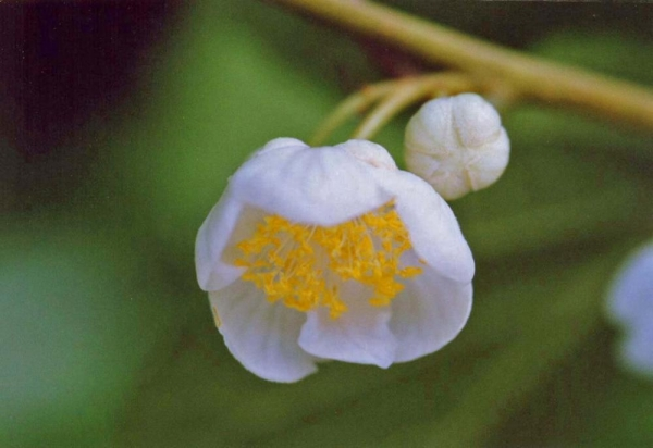 マタタビの雄花