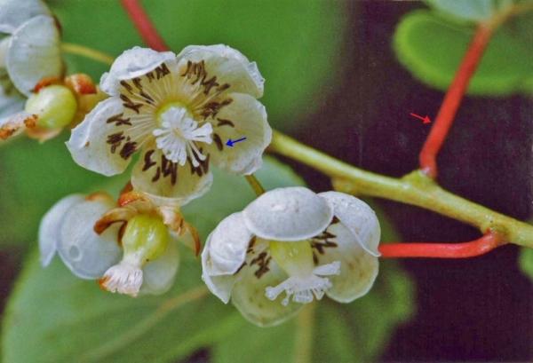 サルナシの両性花。