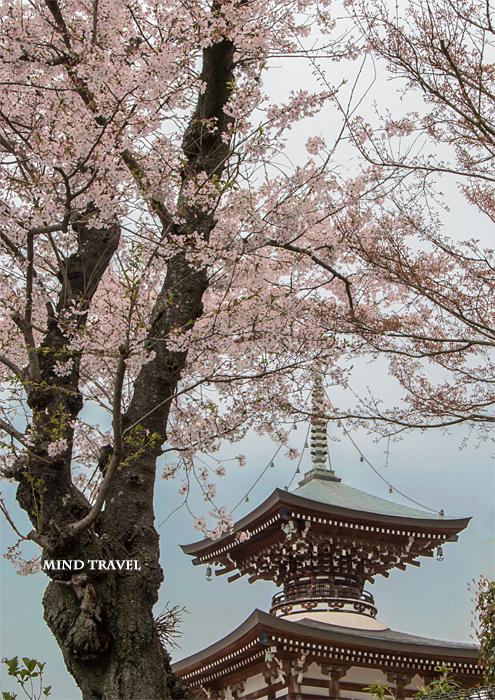 重願寺 桜