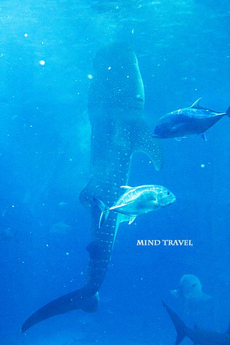 海遊館 食事中のジンベエザメ