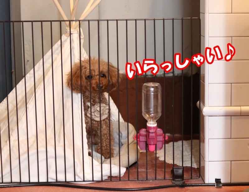 20180123ココチカフェ看板犬クッキーさん