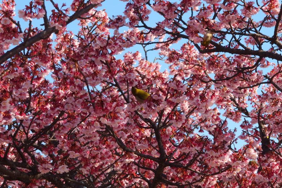 3年ぶりに河津桜を見てきた